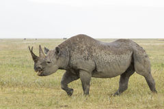 Black Rhino (Diceros bicornis) in Tanzania. A Black Rhino (Diceros bicornis) walks in the rain at the Ngorongoro Crater in Tanzania Royalty Free Stock Image