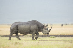 Black Rhino (Diceros bicornis) in Tanzania Royalty Free Stock Photo