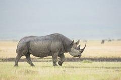 Black Rhino (Diceros bicornis) in Tanzania. A Black Rhino (Diceros bicornis) walks in the rain at the Ngorongoro Crater in Tanzania Royalty Free Stock Photo