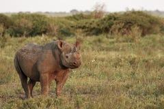 Black Rhino. An endangered black rhino, somewhere in Africa Stock Photography