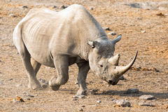 Black rhino at etosha. Namibia Royalty Free Stock Images