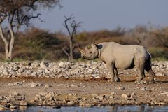 Black rhino, etosha nationalpark, namibia. Diceros bicornis royalty free stock images