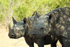 Black Rhino Family Stock Photos