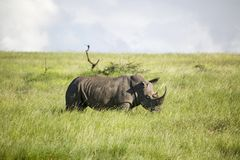 Black Rhino in the green grass of Lewa Wildlife Conservancy, North Kenya, Africa Royalty Free Stock Photography