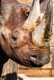 Black rhino head  Royalty Free Stock Image