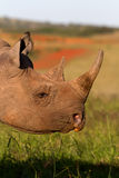 Black Rhino head shot Stock Image