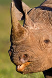 Black Rhino head shot. Head shot of a black Rhino, clearly showing the mouth and hooked lip Stock Photography