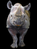Black rhino isolated. Black rhino or hook-lipped rhinoceros (Diceros bicornis) isolated royalty free stock photos