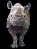Black rhino isolated Royalty Free Stock Photos