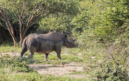 Black rhino at the kruger park Stock Image