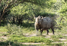 Black rhino at the kruger park Royalty Free Stock Photos