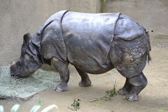 Black Rhino Royalty Free Stock Photography