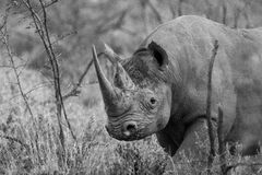 Black rhino with large horn Royalty Free Stock Photography