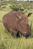 Black rhino in Lewa Conservancy, Kenya, Africa grazing on grass Royalty Free Stock Photo