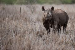 Black rhino looking royalty free stock photography