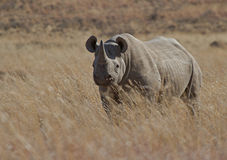 Black Rhino male on an African plain. A large endangered black rhino bull on a plain in the South African wilderness stock photography