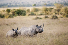 Black Rhino in Masai Mara, Kenya. Black Rhino and Calf in the Masai Mara, Kenya stock photography