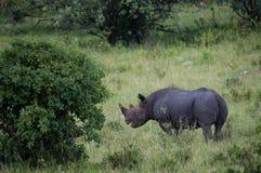 Black rhino in Masai Mara Kenya. Black rhino in Masai Mara National Park Kenya royalty free stock photography