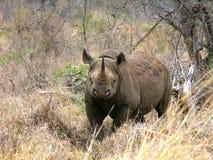 Southern african animals. Black rhino at Mkhaya, Swaziland Stock Images