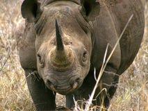 Southern african animals. Black rhino at Mkhaya, Swaziland Stock Photos