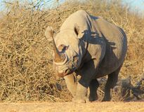 Black Rhino - Most valueable Horn. An adult male Black Rhino (endangered) walking through the thornbush.  Photo taken in Namibia, Africa Stock Images