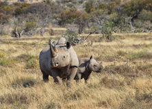 Black Rhino mother and calf. A Black Rhino mother and her 6 month olf calf in Southern African savanna royalty free stock images