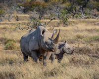 Black Rhino mother and calf. A Black Rhinoceros mother and six month old calf in the Eastern Cape, South Africa stock images