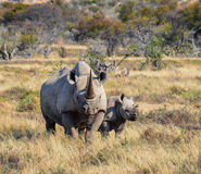 Black Rhino mother and calf. A Black Rhinoceros mother and six month old calf in the Eastern Cape, South Africa royalty free stock photos