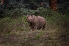 Black Rhino, Nakuru National Park Stock Photos