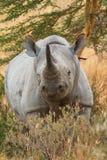 Black Rhino in Nakuru Park Stock Images