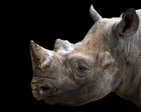 Black rhino portrait Royalty Free Stock Images