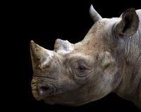 Black rhino portrait Royalty Free Stock Images