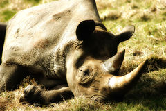Black Rhino at rest. Photograph of a Captive black rhino at port lympne wild animal park Stock Photography