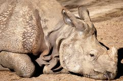 One horned rhino. Stock Images