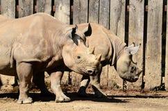 Black rhinoceros with baby. Stock Photos