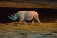 Black rhino running at night Royalty Free Stock Photography