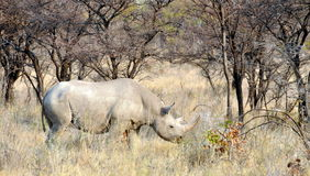 Black Rhino Stock Photography