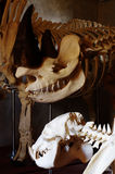 Black rhino skeleton Stock Photography