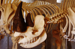 Black rhino skull Stock Photo