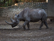 Black rhino Stock Photo