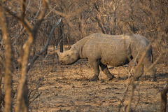 Black Rhino in South Africa Stock Image
