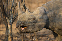 Black Rhino in South Africa. Black Rhino eating twigs in South Africa Royalty Free Stock Image