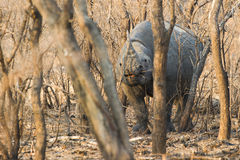 Black Rhino South Africa Stock Photography