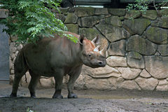 Black rhino. Standing firm and looking Stock Image