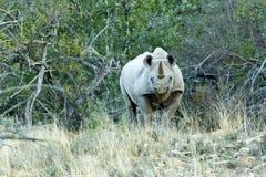 Black Rhino staring Stock Image