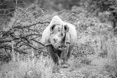 Black rhino starring at the camera. Stock Photos