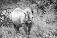 Black rhino starring at the camera. Stock Images