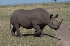 Black Rhino. Stomping through the African wild stock image