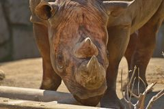 Black rhino Stock Photos