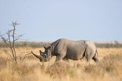 Black rhino. Walking in the savanna of Etosha National Park, Namibia Stock Images
